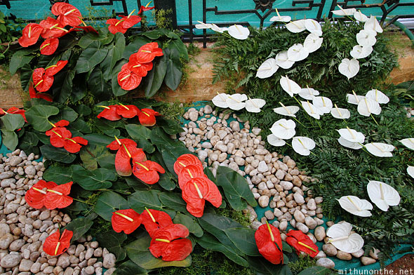 Anthurium plants Lal Bagh flower show Bangalore