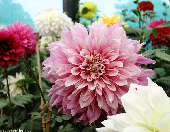 Dahlia flower Lal Bagh Republic day show Bangalore