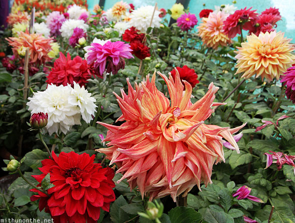 Dahlia Flowers And Gifts Dahlia Flower Petals Lal Bagh