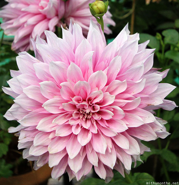 Dahlia pink flower Lal Bagh Bangalore India