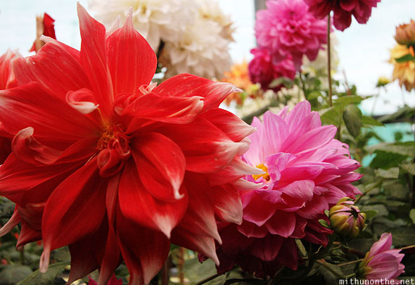 Dahlia red flower Lal Bagh show Bangalore India