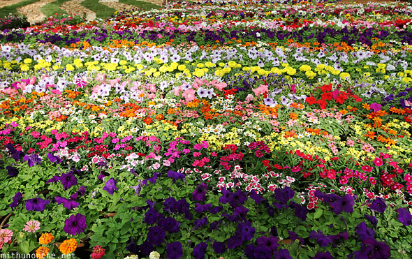 Group of annuals color flowers Lal Bagh Bangalore India