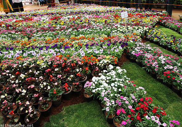 Group of annuals flower pots Lal Bagh Bangalore