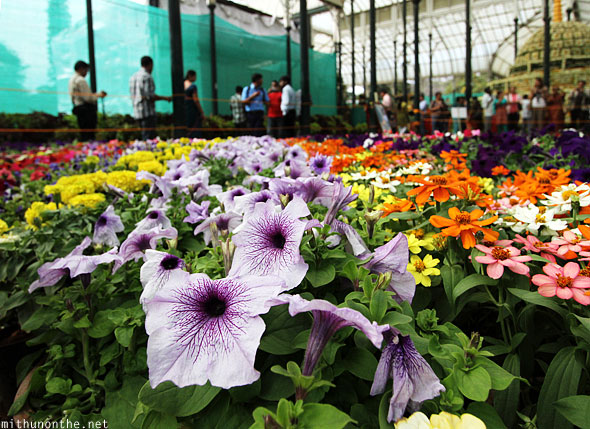 Group of annuals flowers Lal Bagh Bangalore India