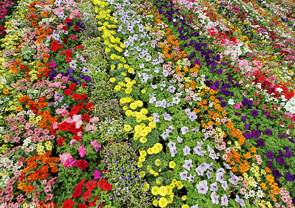 Group of annuals variant flowers colours Lal Bagh Bangalore