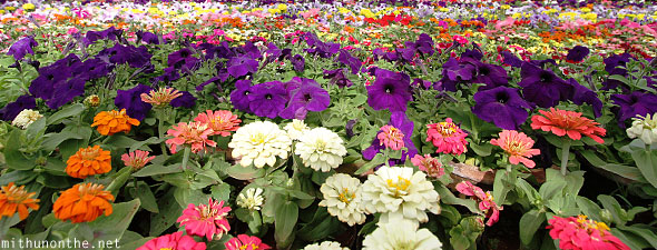 Group of annuals violet flowers Lal Bagh Bangalore India