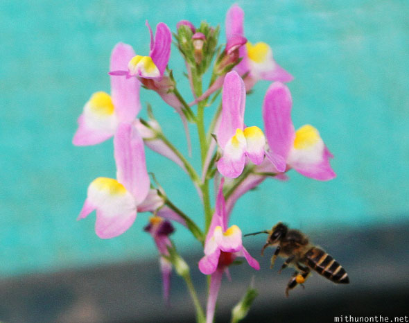 Honeybee flying around flower Lal Bagh Bangalore