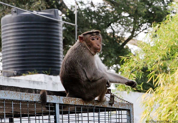 Monkey Lal Bagh gardens Bangalore India
