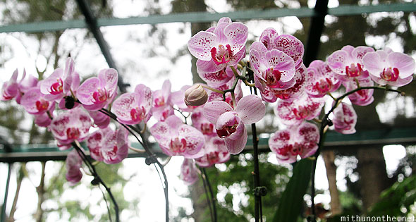 Pink orchid flowers Singapore botanic garden