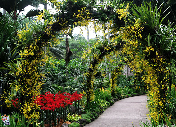 Yellow flower arch Singapore botanic garden