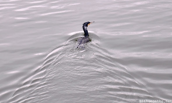 Bird swimming in water Thekkady Periyar lake Kerala