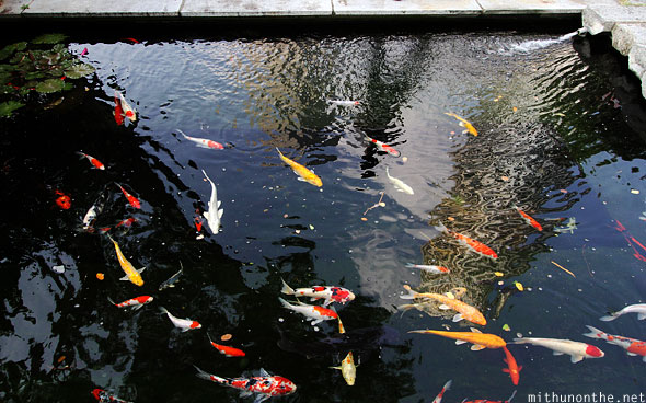 Chinese fish St. Andrews cathedral pond Singapore