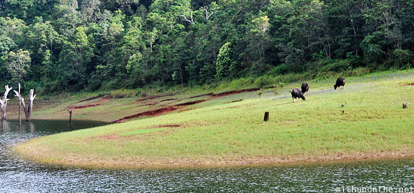 Cow buffalo grazing grass periyar wildlife sanctuary