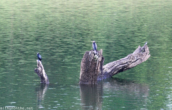 Small birds on trees Periyar lake Kerala