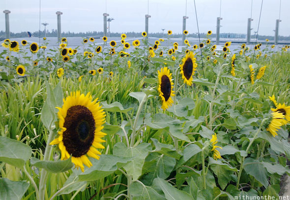 Sunflower garden Singapore airport terminal 2 Changi