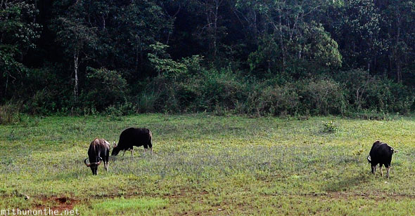 Water buffaloes Thekkady Periyar sanctuary Kerala India