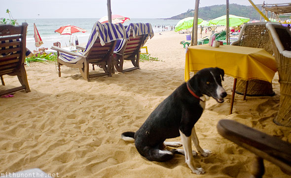 Stray dog Baga beach Goa India