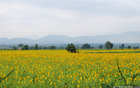 Sunflower field highway Karnataka India