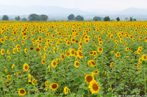 Sunflower field Karnataka India