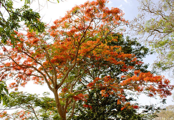 Red blossom tree Karnataka India