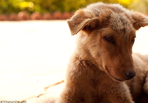 Stray puppy Coorg India
