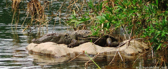 Marsh crocodile Ranganthittu bird sanctuary Karnataka