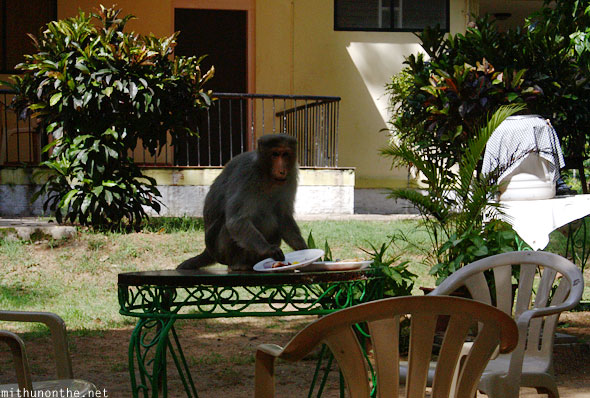 Monkey eating from hotel plate Karnataka India
