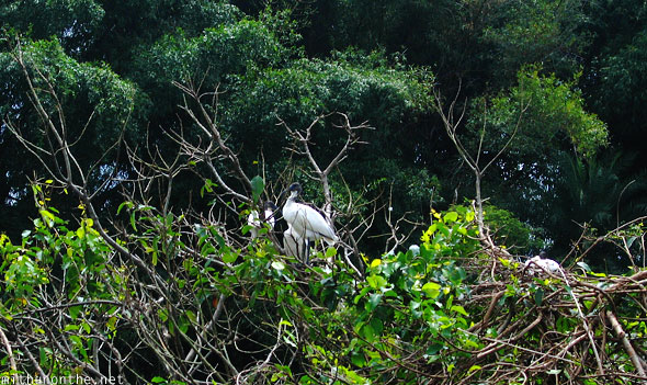Stork in tree Ranganathittu bird sanctuary India