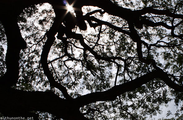 Tree branches leaves silhouette Somnathpur
