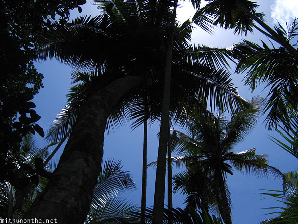 Coconut tree blue skies Kannur Kerala