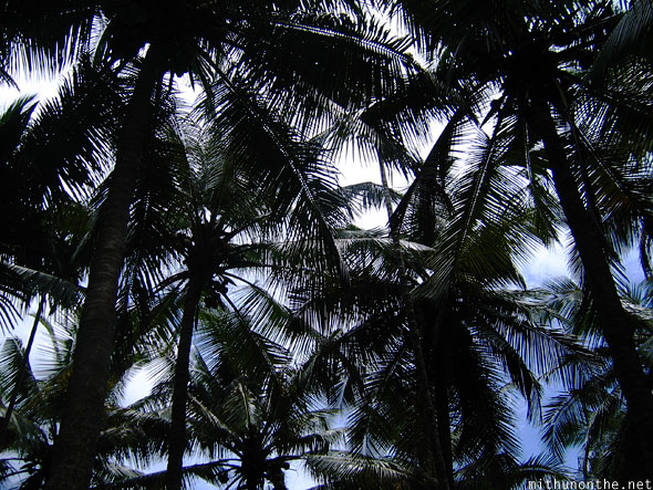 Coconut trees shade Kerala India
