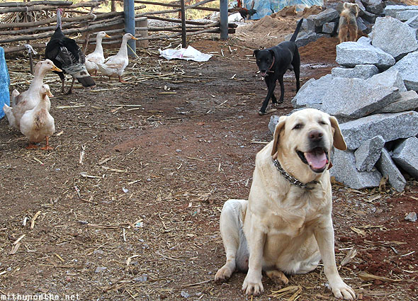 Labrador dogs farmhouse