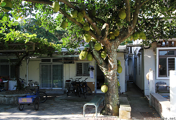 Tai O village jackfruit tree