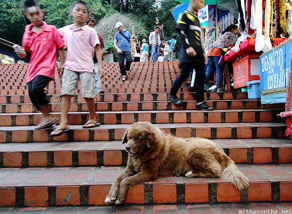 Furry dog steps Doi Suthep Chiang Mai