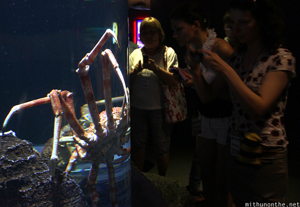 Giant spider crab size Siam Ocean world