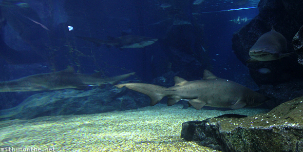 Sharks Siam Ocean World Thailand