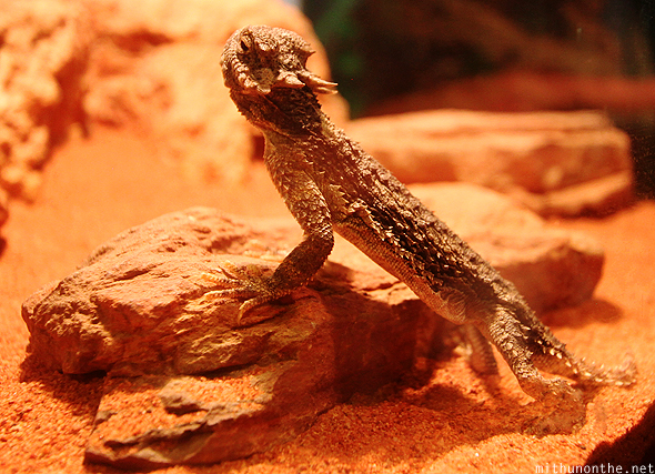 Spiny tailed lizard Siam Ocean World Thailand