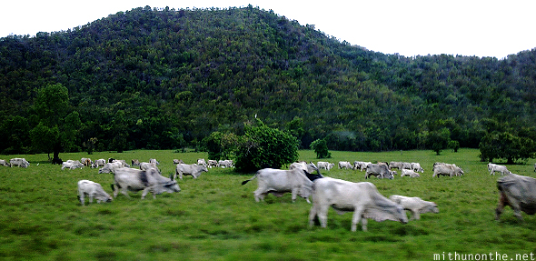 Herd of cows Coron island Philippines