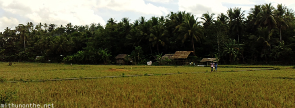 Philippines Donsol paddy field