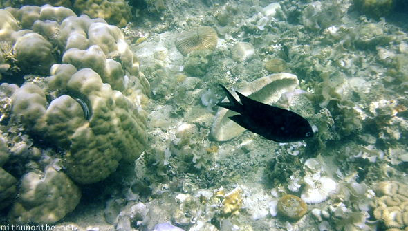 Black fish coral reef Coron Philippines
