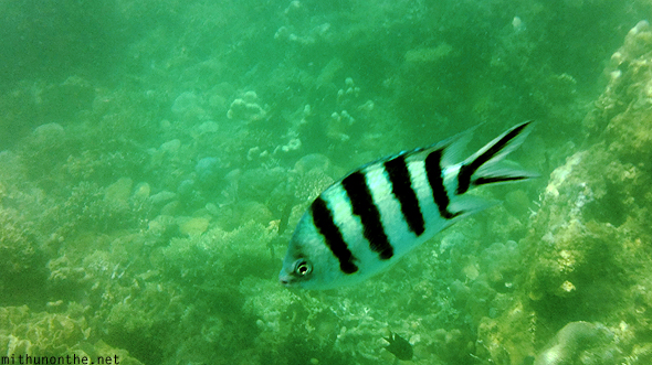 Striped coral damselfish Coron