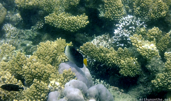 Yellow tail fish Siete Pecados marine park Coron
