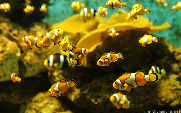 Clown fish Ocean Park Manila