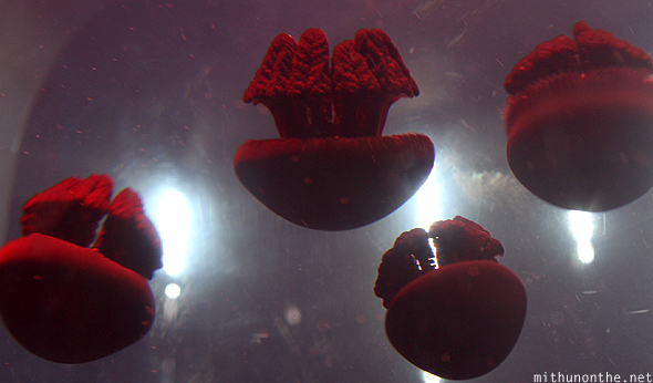 Red jellyfish Ocean Park Manila