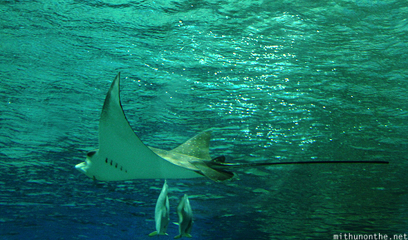 Sting ray aquarium Ocean park Manila