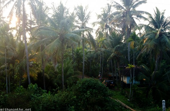 Kerala village coconut trees