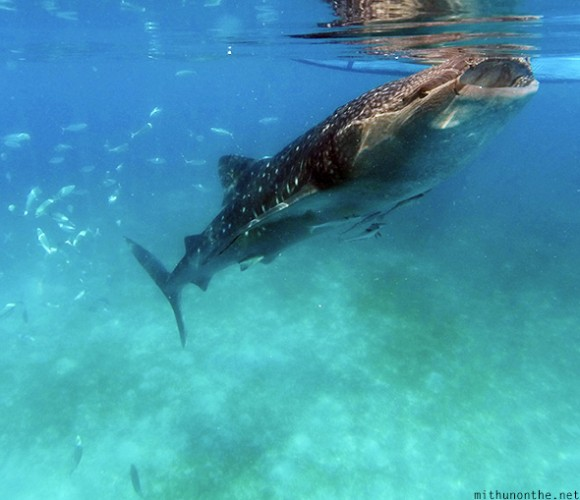 Whale shark feeding underwater Oslob-philippines