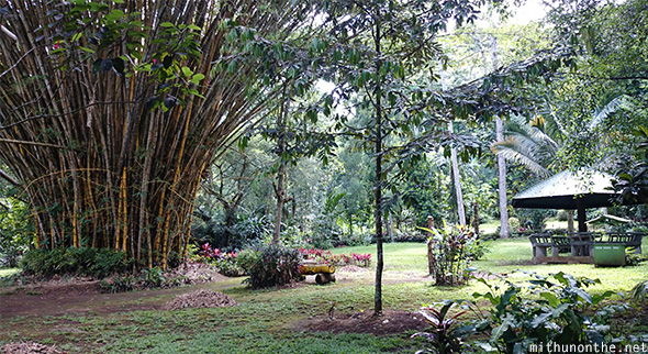 Bamboo trees garden Philippine eagle center