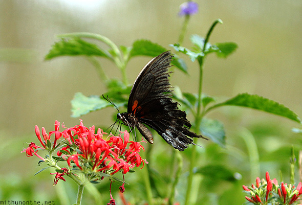 Black butterfly flower nectar Davao