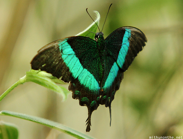 Black green teal butterfly Davao Philippines
